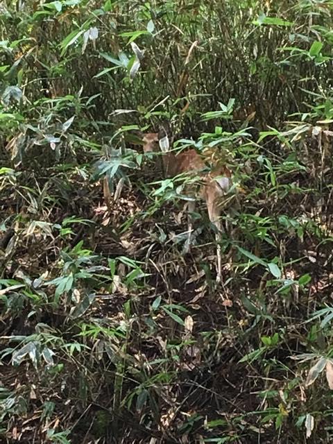 鹿は美笛キャンプ場にたくさんいる